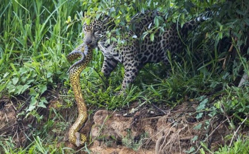 Jaguar vs. Yellow Anaconda Battle Captured By Wildlife ...