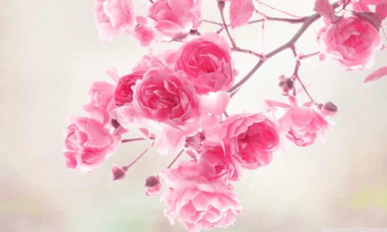 pink is one of the most beautiful colors for flowers 790x474
