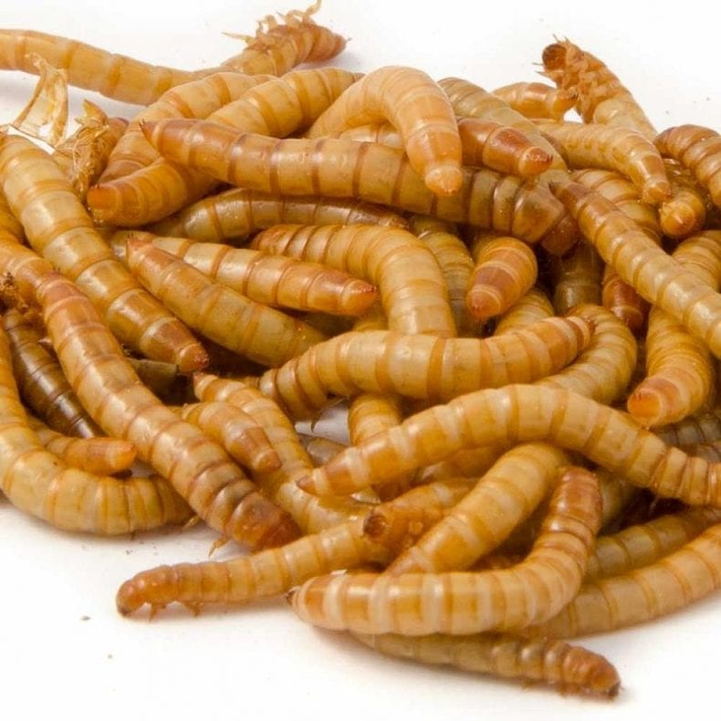 dried mealworms for sale 790x790