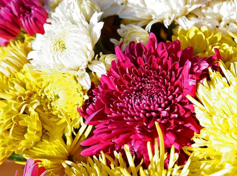 Chrysanthemums 790x588