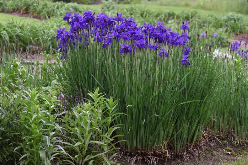 Siberian Iris 790x526