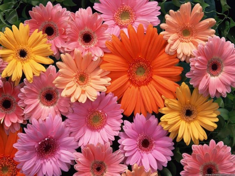 gerbera daisies 790x593
