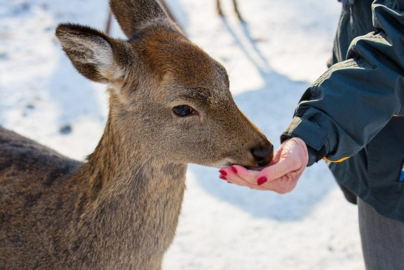 Feeding Deer 790x527