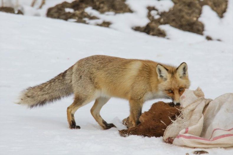 Feeding Fox 790x527