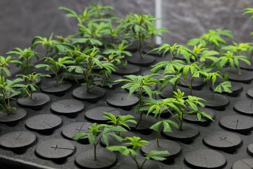 regular cannabis seeds 850x567